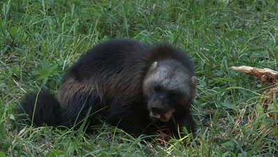 Wolverine eating,close up,summer in Finland