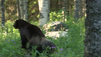 Wolverine leaving,summer in Finland