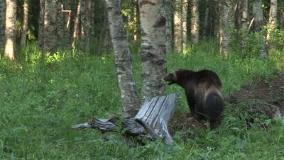 Wolverine running in the grass,summer in Finland