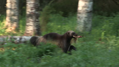 Wolverine with a piece of meat,summer in Finland