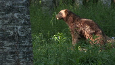 Wolverine on the lookout for something,summer in Finland