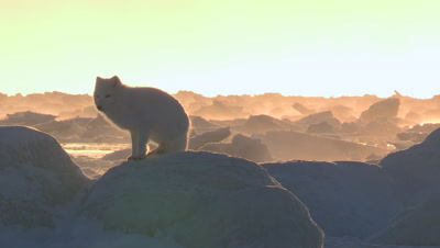 Arctic fox looking for food,early cold morning,-40°C,Canada