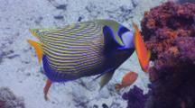 Emperor Angelfish Feeding Around Soft Coral