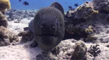 Close Up  Of Giant Moray Eel Interacting With Camera Lens