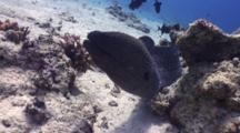 Wide Angle Shot Of Giant Moray Eel Returning To Coral Hole