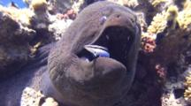 Close Up Giant Moray Eel With Cleaner Wrasse In Mouth