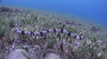 Wide Angle Shot Of Banded Snake Eel Swimming Over Seagrass Bottom