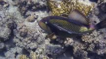 'dolly Zoom' Exit Shot Of Titan Triggerfish With Remora