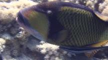 Close Up Shot Of Titan Triggerfish With Remora