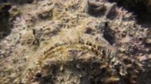 Close Up Of Stonefish Sitting Atop Coral Head
