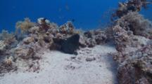 Mid-Shot Giant Moray Eel Resting In Coral Heads