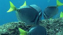 Feeding Yellowtail Surgeonfish