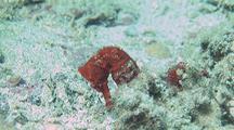 Pacific Seahorse On Sandy Bottom