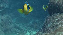 Three Clark's Anemonefish Facing Camera