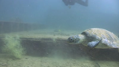 Green Sea Turtle On Deck Of Shipwreck