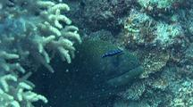 Giant Moray Being Cleaned By A Juvenile Bluestreak Cleaner Wrasse
