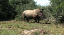 Severely Injured Rhino Stumbles From Sedation By Warden, Poached Alive, Horns Removed