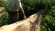 Warden Examines Severely Injured Rhino After Sedation, Poached Alive, Horns Removed