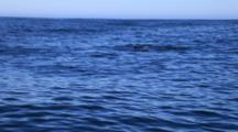 Orcas Hunting Brydes Whales During Sardine Run Activity