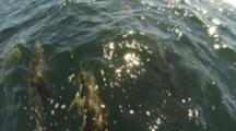 Bow Riding Common Dolphin Pod During Sardine Run