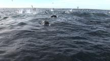 Cape Gannets Plunge Diving During Sardine Run Along With Fur Seals And Dolphins