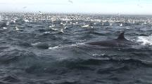 Thousands Of Gannets Plunge Diving Among Dolphins And Brydes Whale On Surface During Sardine Run