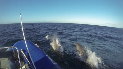 False Killer Whales attack Brydeswhale with Ocean Bottelnose dolphins