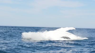 Humpback Whale swim and breach ,Sardine Run