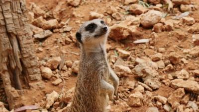 Meerkat stands,alert,guarding