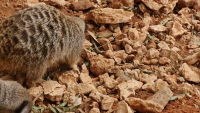Meerkats did in rocks for food