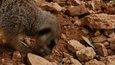 Meerkat Digs in rocks for food