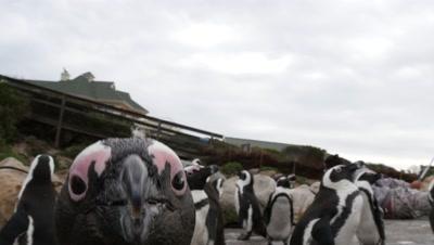 African Penguin Colony on Rocky Coast,one attacks camera