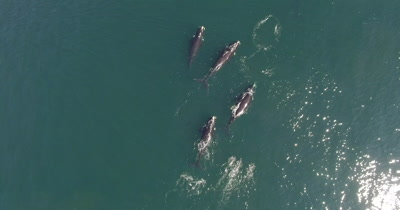 Southern Right Whales by drone