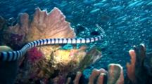 Banded Sea Krait (Laticauda Colubrina) Swimming Up Into School Of Sardines (Silverside Fishes)