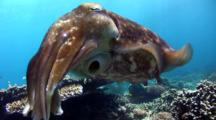 Broadclub Cuttlefish (Sepia Latimanus) Close Up