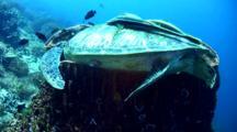 Green Sea Turtle (Chelonia Mydas) Sleeping In Giant Barrel Sponge