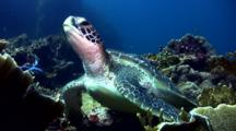 Green Sea Turtle (Chelonia Mydas) Rests On Coral And Starting Swimming