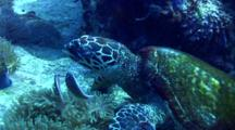 Hawksbill Turtle (Eretmochelys Imbricata) Attacked By Pink Anemonfish