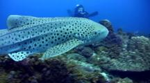 Leopard Or Zebra Shark (Stegostoma Fasciatum) Swimming After Each Other