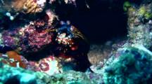 Smashing Mantis Shrimp (Odontodactylus Scyllarus) Cleaning Itself
