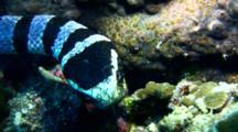 Banded Sea Krait Hunts On Reef