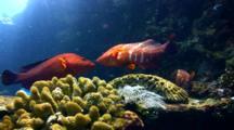 Coral Grouper (Cephalopholis Miniata) Kissing