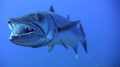 Great Barracuda (Sphyraena Barracuda) Hovering,Showing Teeth