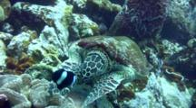 3 Legged Hawksbill Turtle (Eretmochelys Imbricata) Chased By Clark Anemonefish