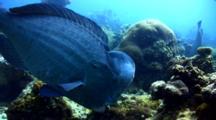 Humphead Parrotfish (Bolbometopon Muricatum) Crunching Coral