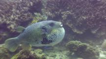 Inflated Map Pufferfish (Arothron Mappa)