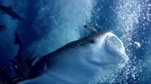 Whale Shark (Rhincodon Typus) Swallowing Bubbles