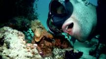 White Banded Cleaner Shrimp (Lysmata Amboinensis) Cleaning Diver's Mouth