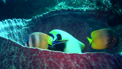 Emperor angelfish (Pomacanthus imperator) being cleaned by wrasses inside barrel sponge