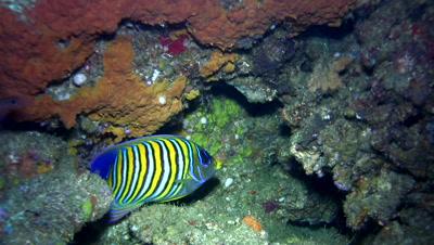 Regal angelfish (Pygoplites diacanthus)